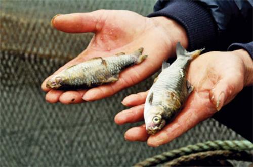 Kinh nghiệm xử lý khủng hoảng cá chết vì nhiễm độc ở Trung Quốc 1