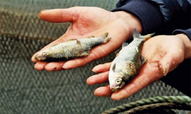 Cá chết hàng loạt 3