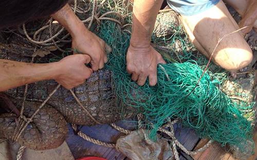Cá sấu trên sông ở Long An đã mắc lưới 1