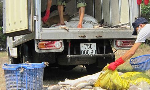 Nhiều tấn cá lồng và cá biển ở Huế tiếp tục chết