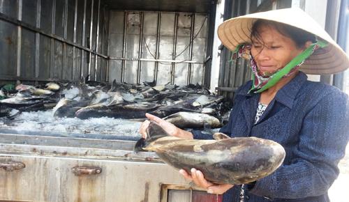 Cá chết la liệt vùng cửa sông Lạch Bạng 1
