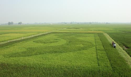 Bản đồ Việt Nam khổng lồ trên cánh đồng lúa 1