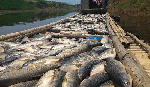 Người dân bất lực nhìn cá chết trắng sông Bưởi 2