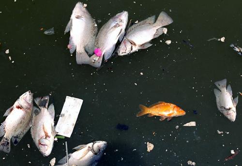 Cá chết trắng kênh Nhiêu Lộc 2