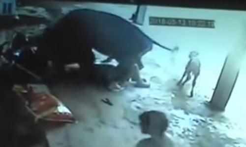 Con bò lao vào húc hai người đàn ông khi họ dùng dao tấn công cô gái. Ảnh: news.com.au