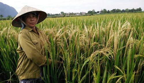 Gần 60 ha lúa ở Ninh Bình trắng bông bất thường sau một đêm 2