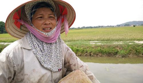 Gần 60 ha lúa ở Ninh Bình trắng bông bất thường sau một đêm 3