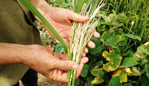 Gần 60 ha lúa ở Ninh Bình trắng bông bất thường sau một đêm 1