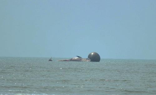 Xác cá voi dài 10m dạt bờ biển Nghệ An 1
