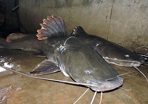 Câu được hai con cá lăng khổng lồ trên sông Sêrêpôk 1