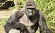 Sở thú Mỹ bắn chết khỉ đột cứu bé trai 3 tuổi gây tranh cãi