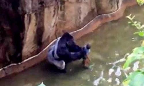 Chú khỉ đột bị bắn chết có thể đang bảo vệ cậu bé ba tuổi