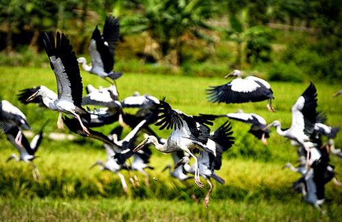 Đàn chim xuất hiện ở Lào Cai là loài nhạn 1