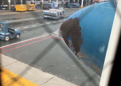 Hàng nghìn con ong bám đầu máy bay ở Tân Sơn Nhất 1