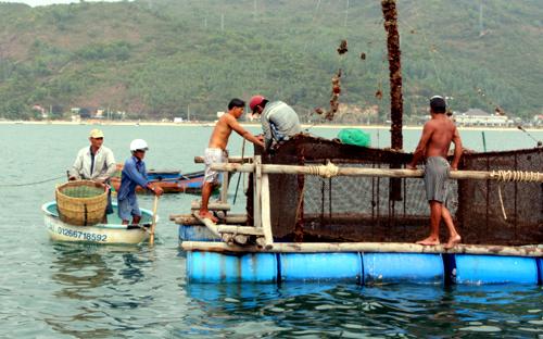Tôm hùm chết hàng loạt ở Phú Yên 1