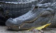 Cá sấu lôi bé hai tuổi xuống hồ ở Mỹ