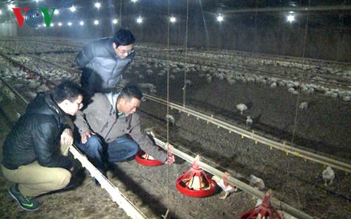 Mỗi đợt xuất chuồng, tổng lượng gà thu đượctrong trang trại của anh Tuấn làgần 350 tấn.