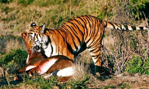 Nếu hổ, sói và cáo cùng ăn một con nai thì mất bao lâu?