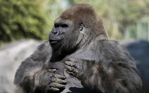 Khỉ đột tên Bantu. Ảnh: AFP.