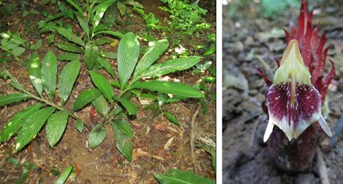 Hình ảnh Cây và cụm hoa loài Zingiber skornickovae N.S. Lý (Ảnh: Lý Ngọc Sâm)