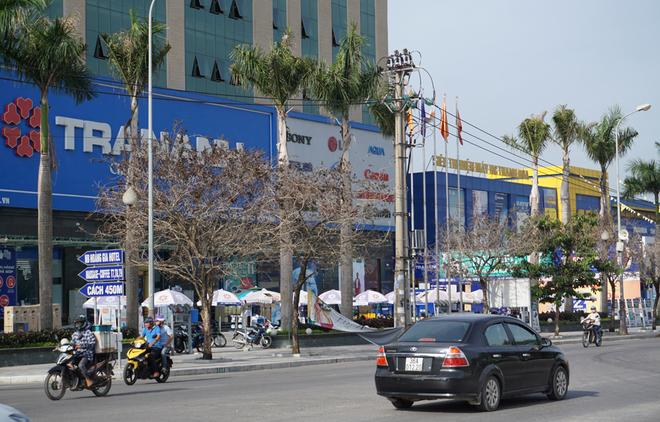Nhiều cây xanh ở phố lớn Thanh Hóa chết khô, nghi bị đầu độc