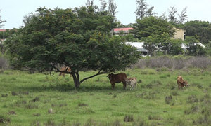 Quảng trường bỏ hoang thành bãi nuôi bò ở Sài Gòn