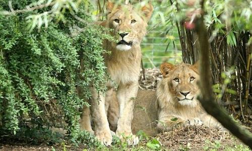 Sư tử Motshegetsi (trái) bị bắn chết sau khi sổng chuồng. Ảnh: AP.