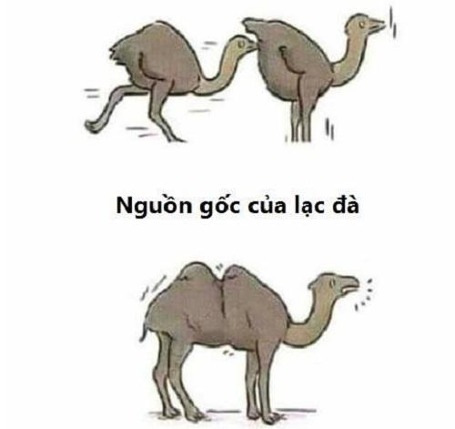Nguồn gốc của lạc đà.