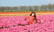 Bé gái gốc Việt duyên dáng trên cánh đồng hoa tulip