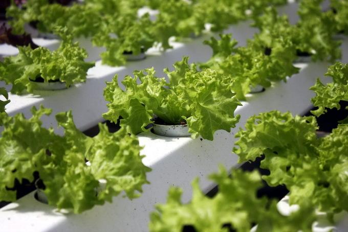 Vườn rau thủy canh thu 4 tỷ đồng mỗi năm của nông dân Đà Lạt
