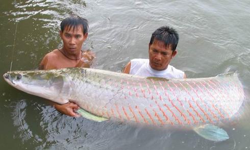 Ở Việt Nam loài cá nào chỉ xuất hiện vào ban đêm?