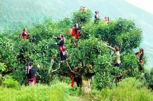 Cây chè cổ thụ Shan Tuyết có tuổi thọ hàng trăm năm nên thân và cành cây rất vững chãi. Ảnh: vepr
