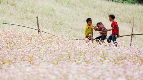 Cánh đồng hoa tam giác mạch ở Hà Giang. Ảnh: nguoichiase