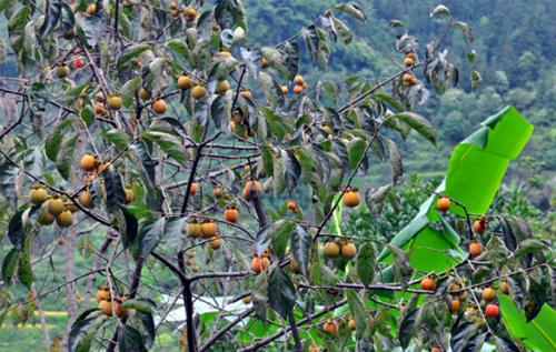 Những trái hồng không hạt đang sai trĩu quả trên cành cây. Ảnh: baohagiang