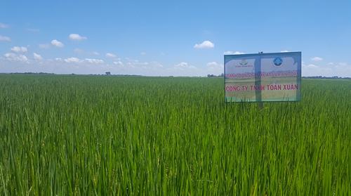 Cánh đồng lúa theo mô hình VietGAP tại tỉnh Nam Định. Ảnh: CTTNHH Toản Xuân