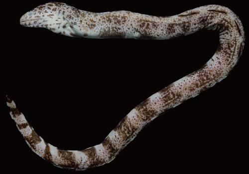 Hình dạng ngoài tiêu bản của loài Gymnothorax minor mã số FRLM 31626, chiều dài toàn thân 363.0 mm thu thập tại Nha Trang