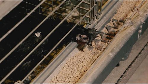 Thức ăn cho gà được bổ sung thảo dược để tăng sức đề kháng cho gà. Ảnh: bizmedia