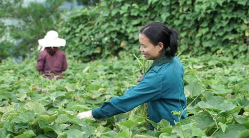 Các hộ nông dân Tam Đảo trồng rau su su theo mô hình VietGAP. Ảnh: bizmedia.