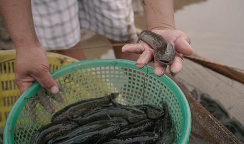 Cá bống bớp của huyện Nghĩa Hưng (Nam Định). Ảnh: bizmedia