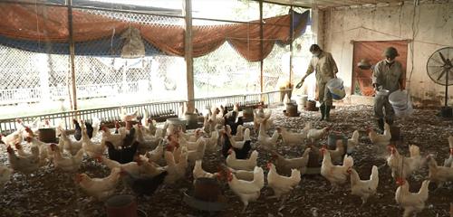 Những con gà Ai Cập đẻ trứng được chăm sóc theo chế độ ăn, uống kỹ lưỡng, vệ sinh chuồng trại thường xuyên để luôn khỏe mạnh và chất lượng trứng ổn định. Ảnh: BizMedia