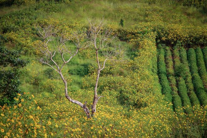Lên núi lửa ở Gia Lai ngắm hoa dã quỳ