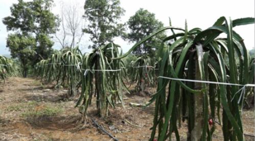 Vườn trồng thanh long ruột đỏ tại huyện Lập Thạch, Vĩnh Phúc. Ảnh: bizmedia
