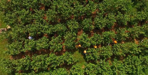 6ha ổi lê Đài Loan theo quy trình VietGap bắt đầu được trồng từ cuối năm 2014. Ảnh: Bizmedia