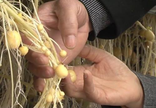 Củ khoai tây Solara, Diamant nguyên chủng được nhân giống thành công tại Nam Định bằng phương pháp trồng khí canh. Ảnh: namdinhtv