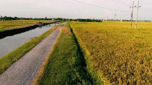 Quế Võ là một trong hai huyện được Bắc Ninh lựa chọn để trồng lúa theo tiêu chuẩn VietGap. Ảnh: Bizmedia