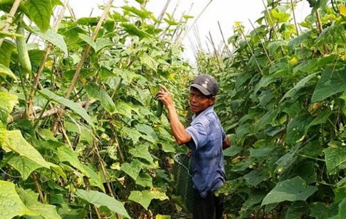 Người dân trồng rau tại Nam Định. Ảnh: VietGap
