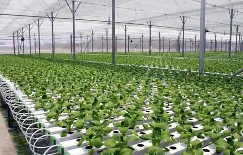 Mô hình trồng rau nhà kính theo công nghệ Israel của Công ty VinEco. Ảnh: vingroup.