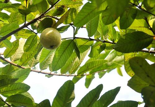 Đông Dư có điều kiện tự nhiên thuận lợi để phát triển cây ổi đặc sản.