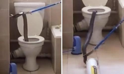Rắn hổ mang cỡ lớn trốn trong bồn cầu một căn hộ ở khu chung cư tại Nam Phi. Ảnh: Mirror.