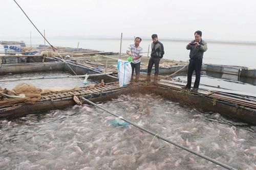 Mô hình nuôi cá lồng trên sông giúp mang lại nguồn lợi kinh tế hàng trăm tỷ đồng. Ảnh: vietlinh.vn